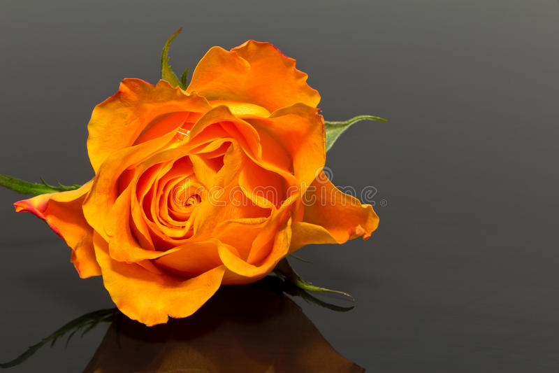 黄色玫瑰唯一花在黑暗的背景的 免版税库存照片
