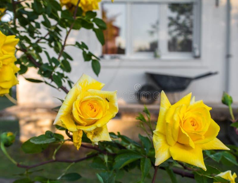 黄色玫瑰园房子春天花瓣从事园艺 免版税库存图片