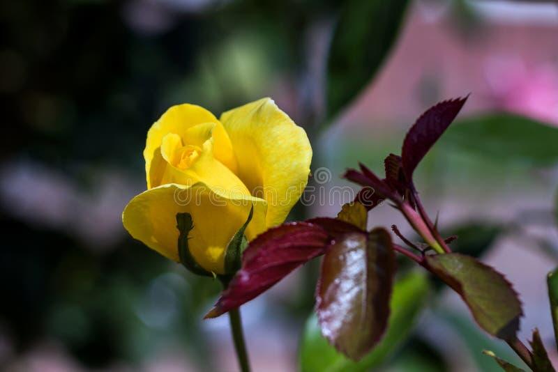 黄色玫瑰在阳光下 免版税图库摄影