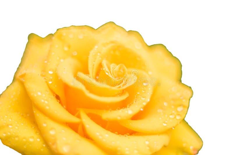 黄色玫瑰在露水下落的花特写镜头  在空白背景的孤立 免版税库存图片