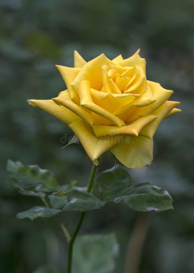 黄色玫瑰有绿色模糊的背景 请说与花和明亮您的天 库存图片