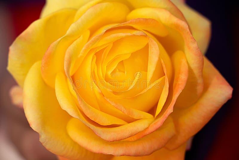 黄色玫瑰色特写镜头顶视图 库存照片