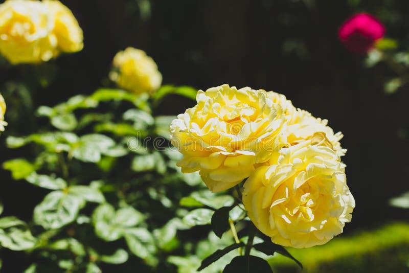 黄色玫瑰花和绿色叶子背景在阳光下 r 图库摄影