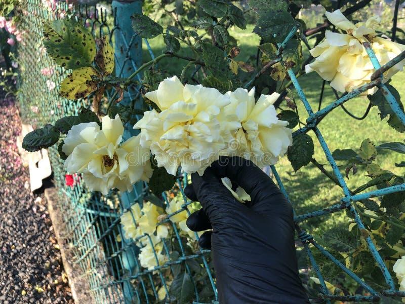 黄色玫瑰花束在一只女性手上在白色背景 免版税图库摄影