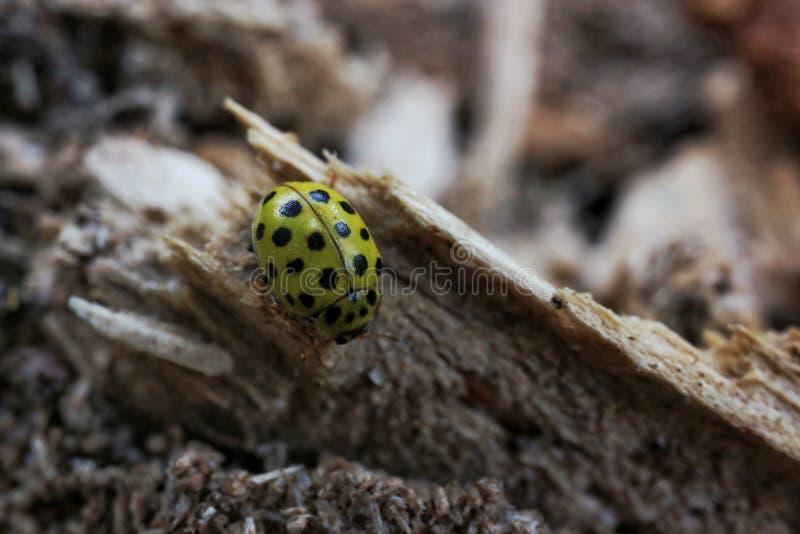 黄色瓢虫 库存图片
