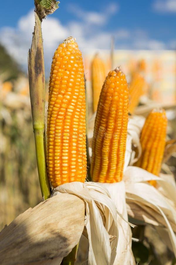 黄色甜玉米领域,收获季节,干燥夏天室外天光 免版税库存图片