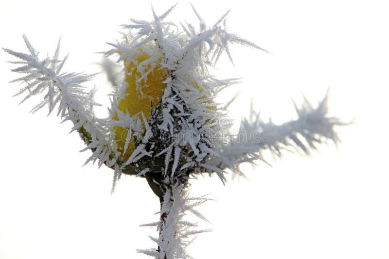 黄色用早晨霜盖的玫瑰芽 免版税图库摄影