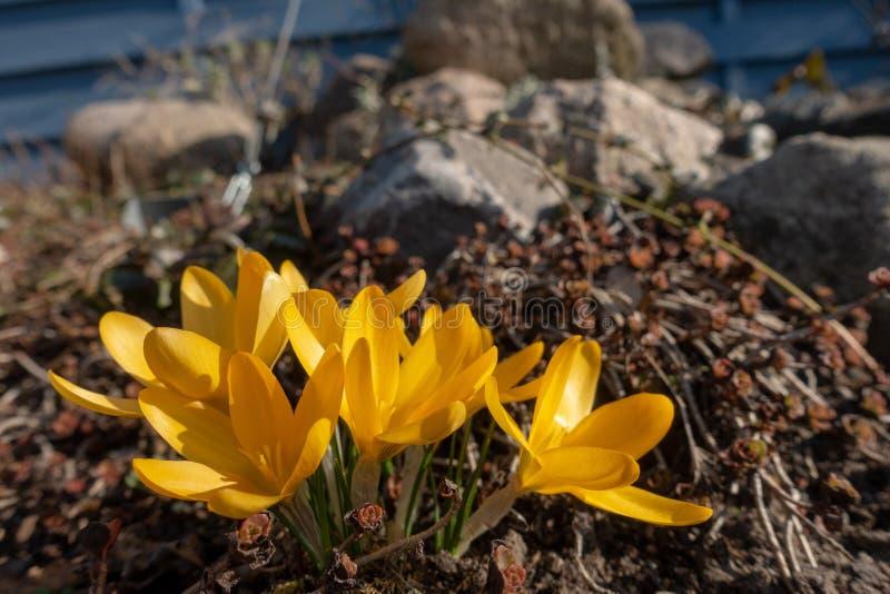 黄色番红花在春天 免版税库存图片
