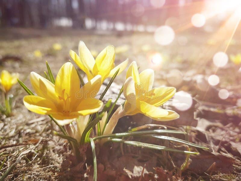 黄色番红花开花并且晒黑光芒 春天花在有发光的太阳的森林 库存照片