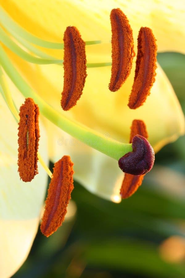 黄色的接近的百合属植物 免版税库存图片