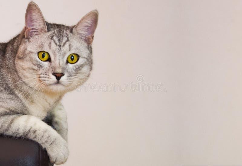 黄色目的猫坐长沙发 免版税库存照片