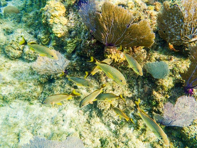 黄色礁石鱼在Roatan洪都拉斯 库存照片