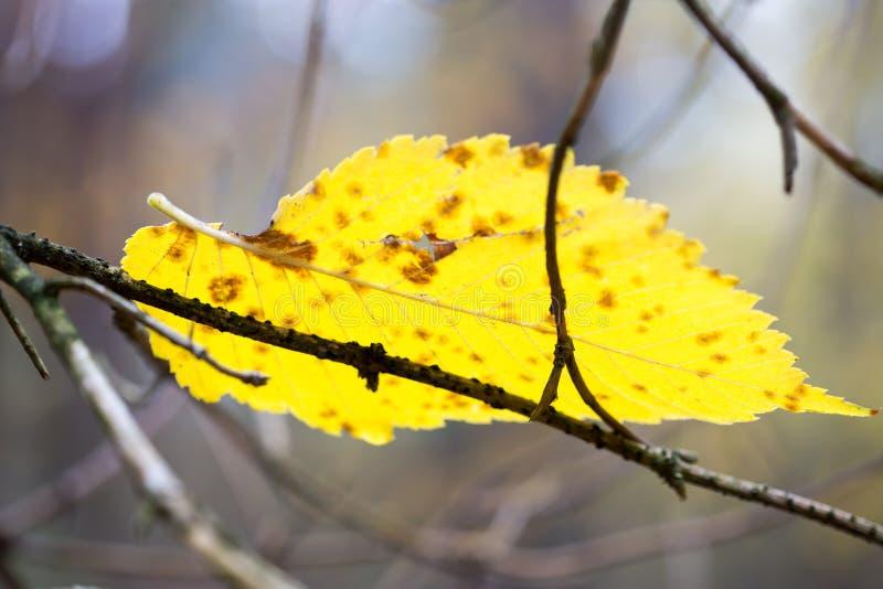 黄色秋天叶子 免版税图库摄影