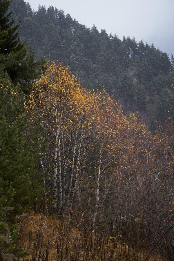 黄色秋天树在高加索山脉在Svaneti,乔治亚的区域 库存图片