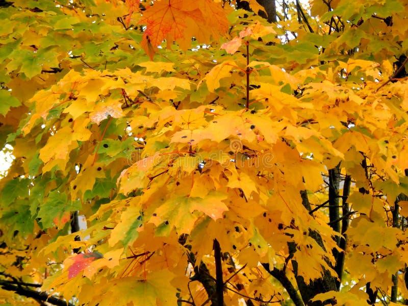 黄色秋天槭树叶子 库存图片