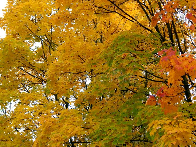 黄色秋天槭树叶子 图库摄影