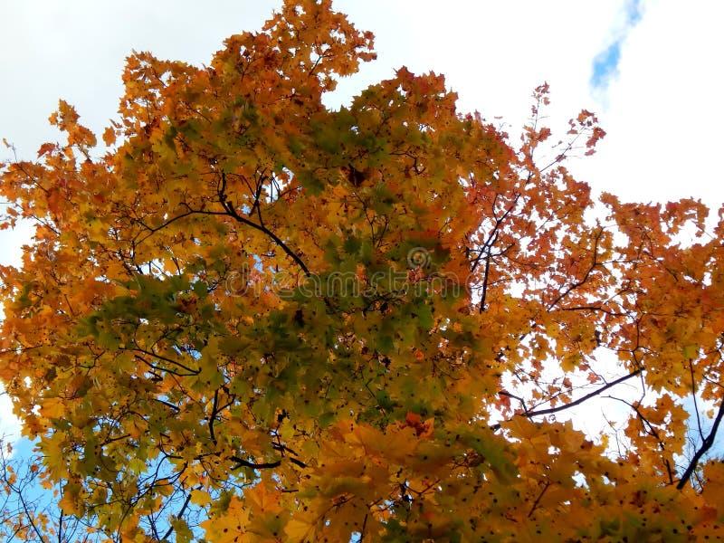 黄色秋天槭树叶子 免版税图库摄影