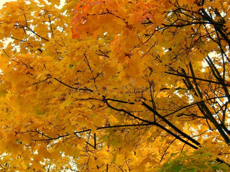 黄色秋天槭树叶子 免版税库存照片