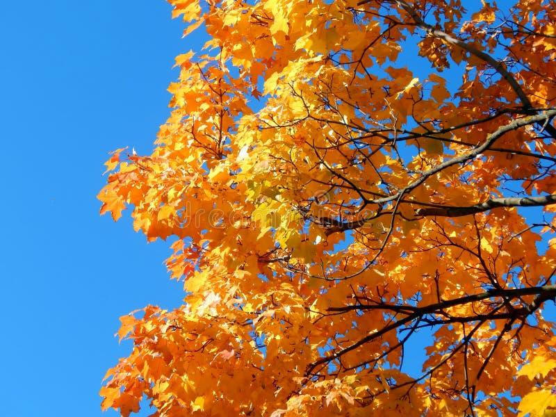 黄色秋天槭树叶子 免版税库存图片