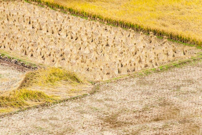 黄色米在中国收获了领域 库存照片
