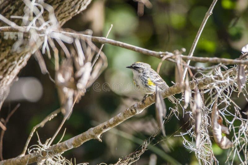黄色红喉刺莺的鸣鸟 库存图片