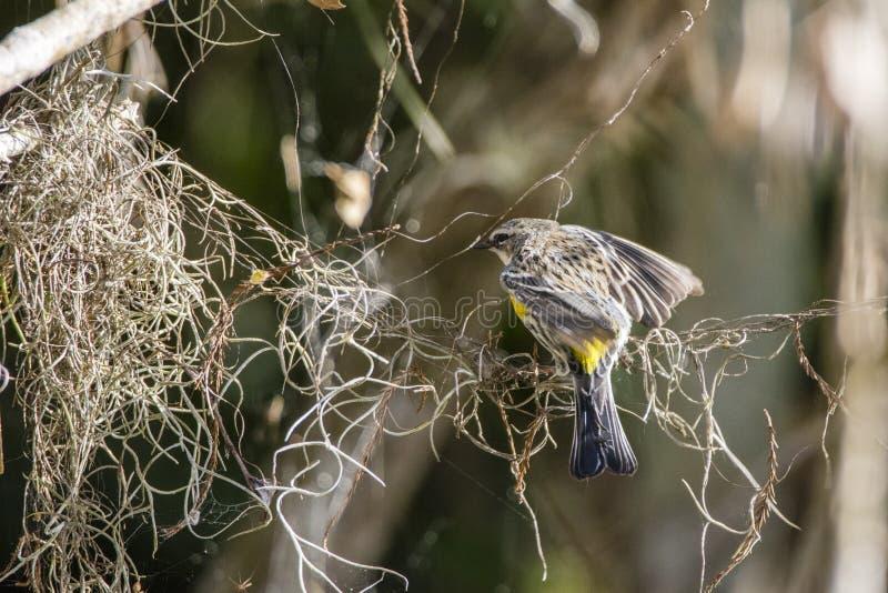黄色红喉刺莺的鸣鸟 免版税库存照片