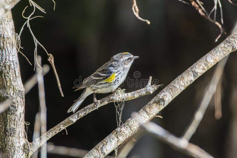黄色红喉刺莺的鸣鸟 免版税库存图片