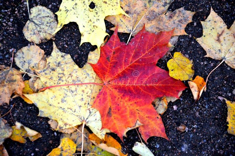 黄色红槭叶子 免版税库存图片