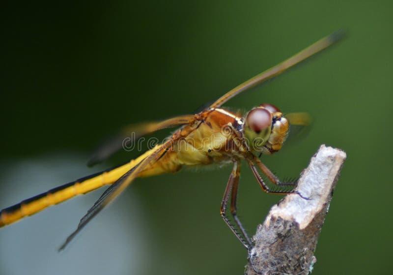 黄色红润突进者蜻蜓保持平衡为离开 库存图片