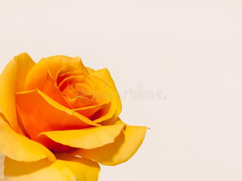 黄色罗斯一个至善至美的标本 免版税库存照片
