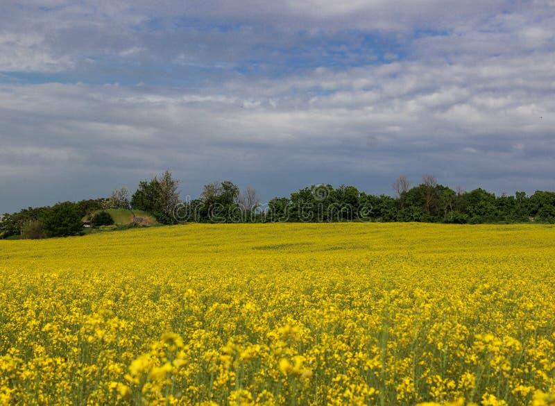 黄色芥末领域,在天空的白色云彩 免版税库存图片