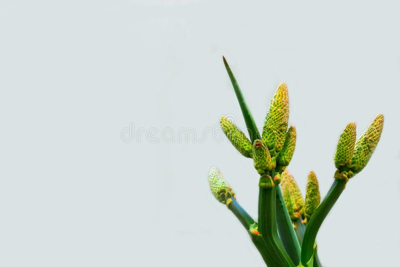 黄色芦荟花和绿色分支在白色背景 图库摄影