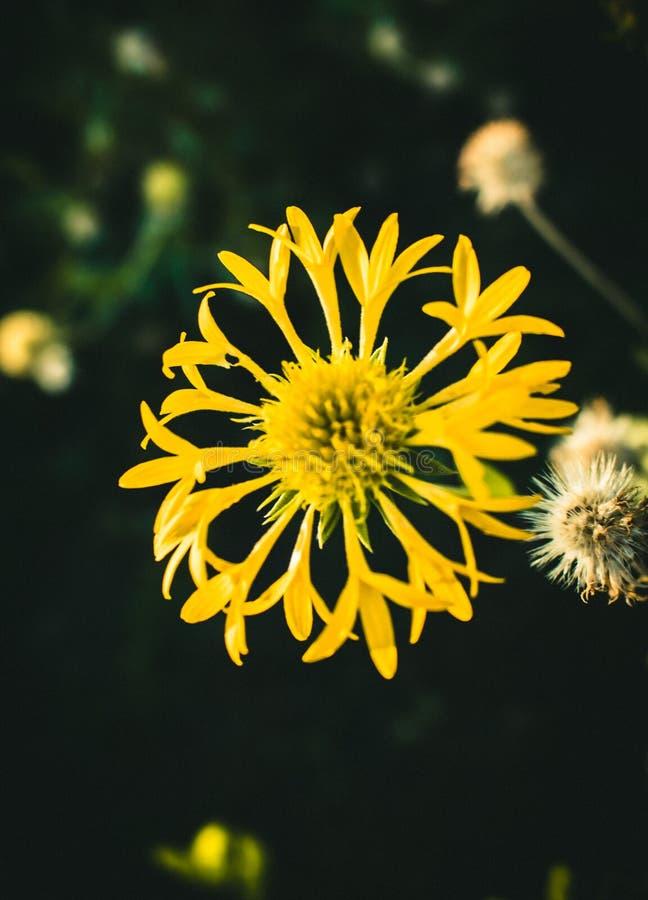黄色花关闭在黑暗的题材的 图库摄影