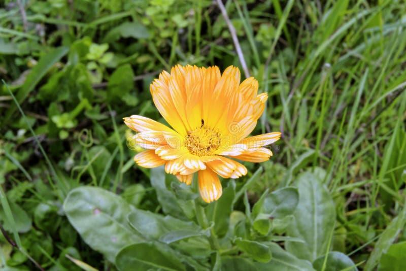 黄色花叫与昆虫的金盏草在雌蕊中 库存图片