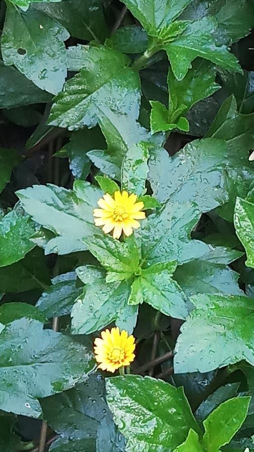 黄色花和叶子 库存图片