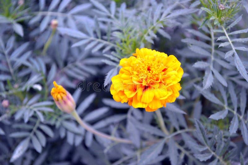 黄色花和未打开的芽 免版税图库摄影