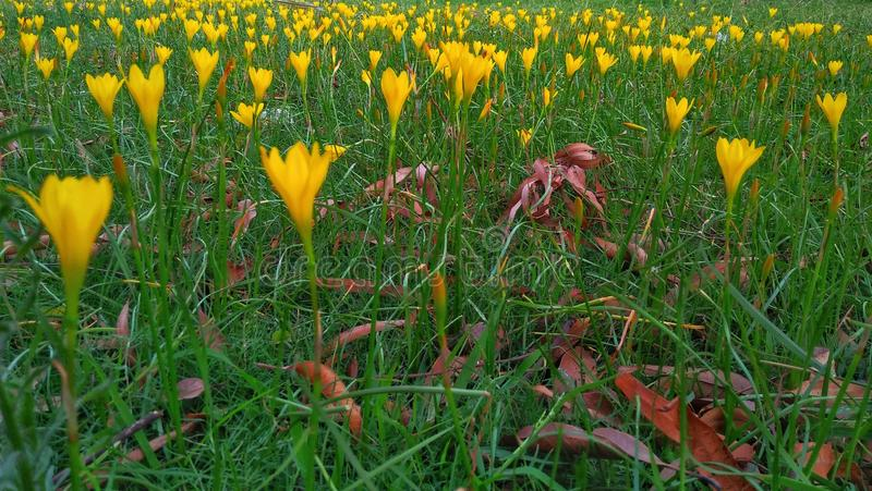 黄色花和草 免版税库存照片