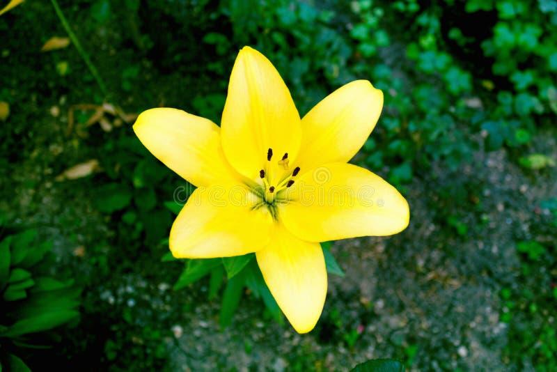 黄色花在庭院里 免版税图库摄影
