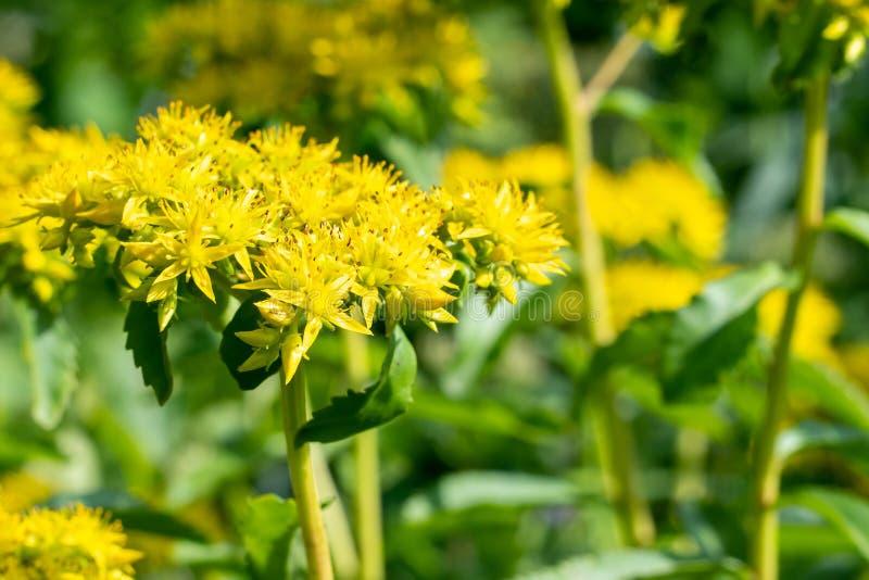 黄色花在庭院里 r 免版税图库摄影
