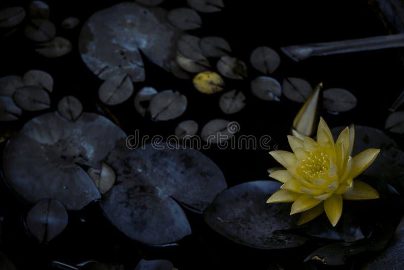 黄色花在有叶子的池塘 免版税库存图片