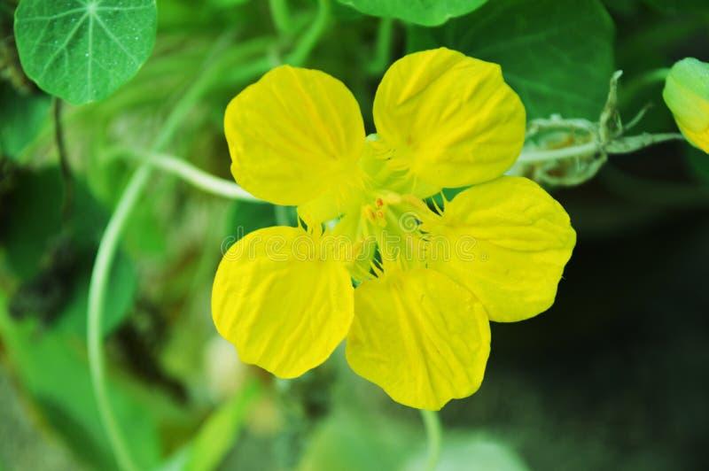 黄色花在绿色背景中 免版税库存照片