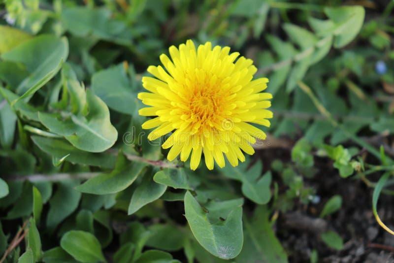 黄色花在Versailles'庭院里 库存图片