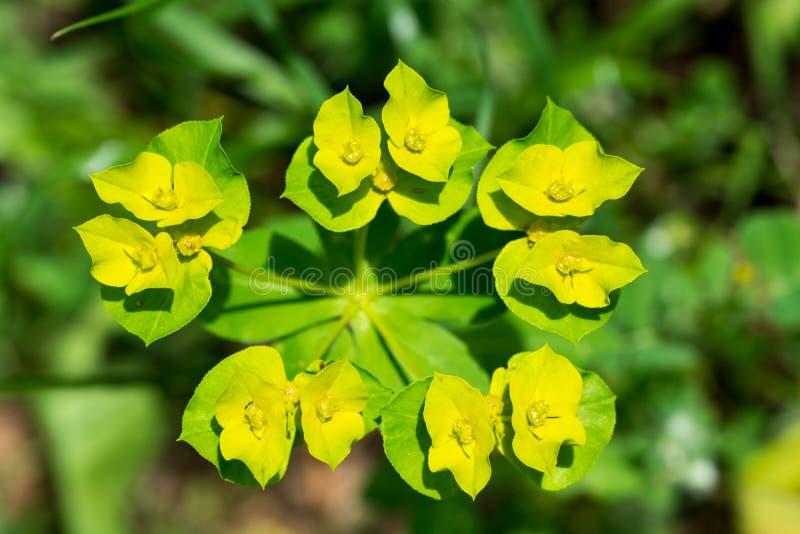 黄色花宏观美好的bokeh背景 免版税图库摄影