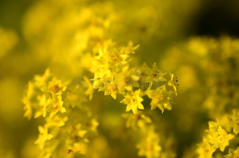 黄色花有模糊的背景 免版税库存图片