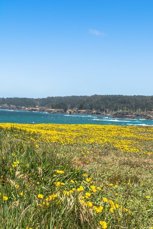 黄色花沿海, Mendocino,加利福尼亚 库存图片