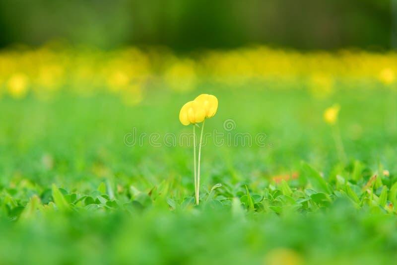 黄色花田在春天背景中 花马花生植物群早晨 库存照片