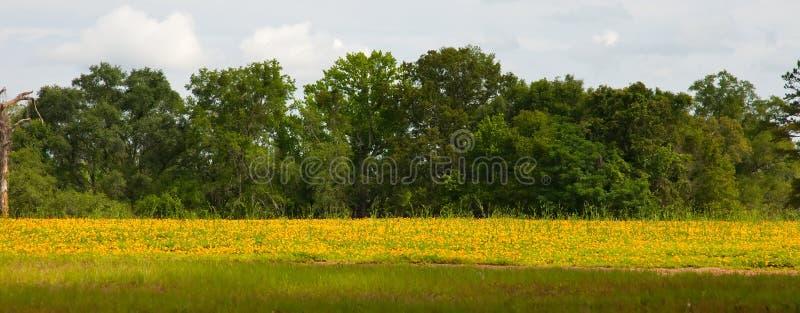 黄色花的域 图库摄影