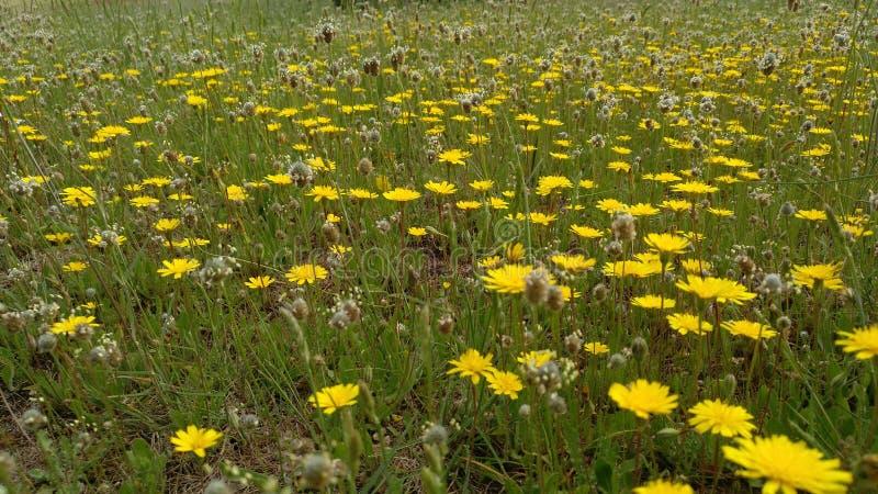 黄色花的领域在绿草背景的  免版税库存照片