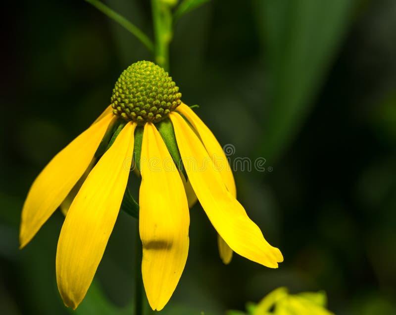 黄色花看起来延命菊 库存图片