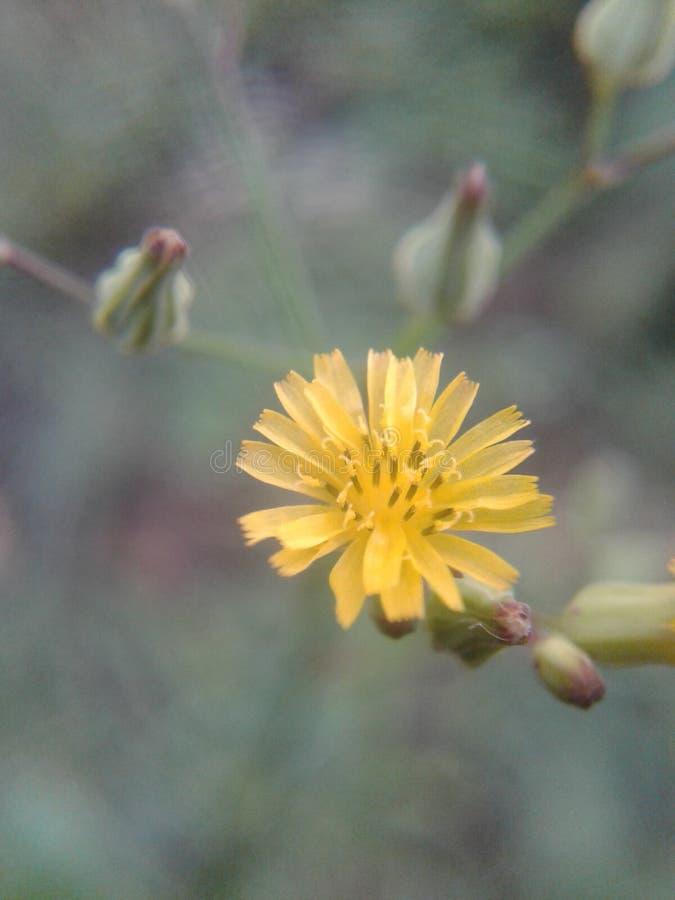 黄色花粉 免版税库存照片